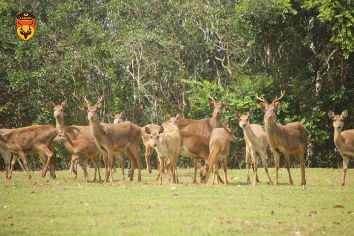 毛里求斯鹿 水鹿