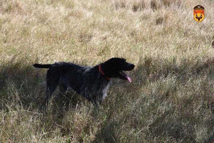 毛里求斯猎犬