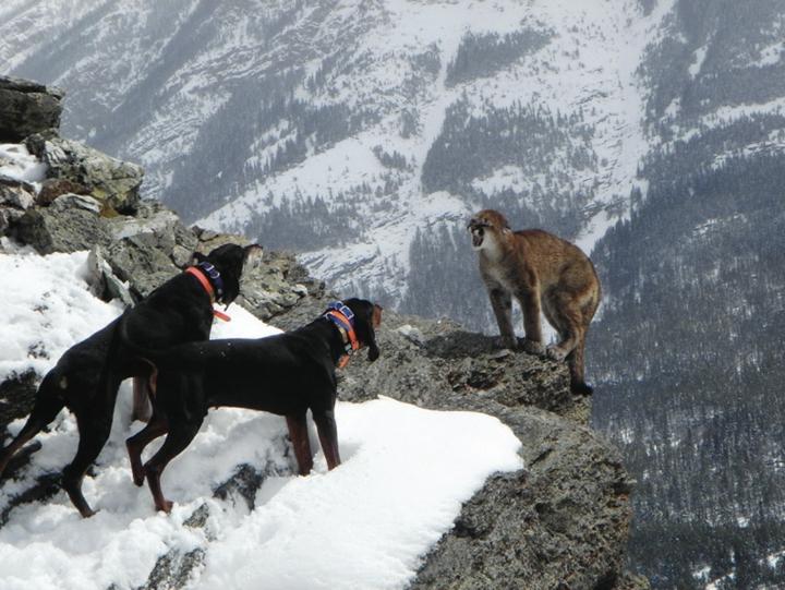 猎犬美洲狮狩猎