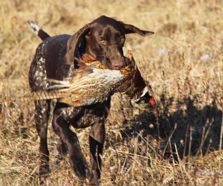 美国野鸡狩猎