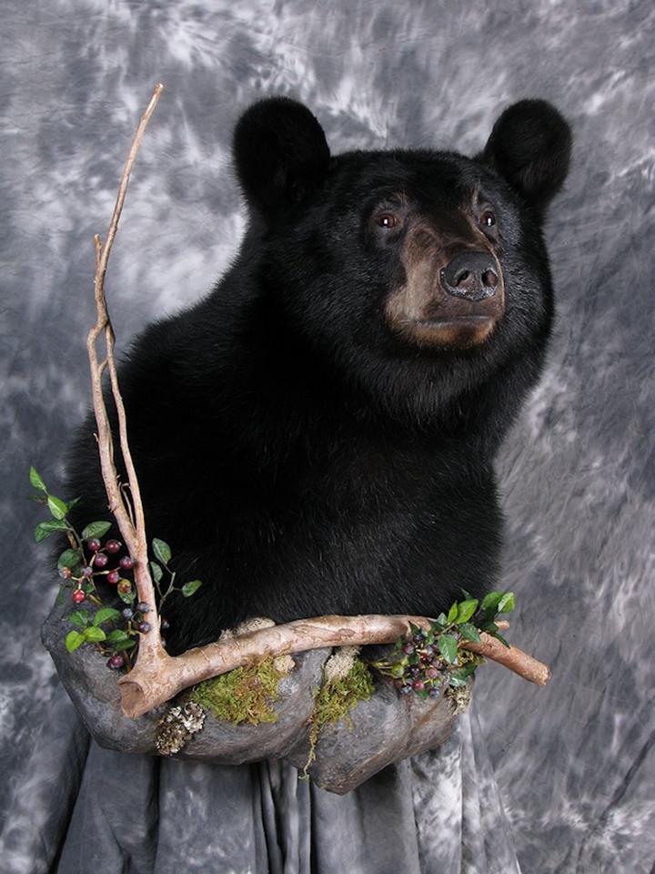 黑熊标本 标本制作 标本进出口服务  狩猎公司 国外狩猎 国际狩猎 北美狩猎 加拿大狩猎 黑熊狩猎