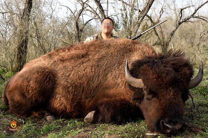 美洲野牛狩猎