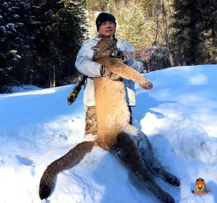 加拿大美洲狮狩猎