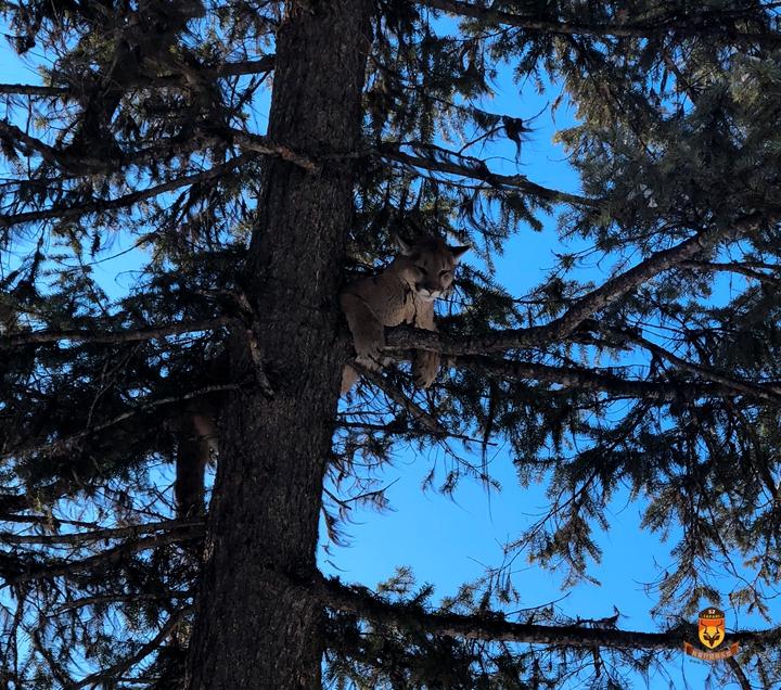 北美美洲狮狩猎