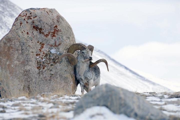 巨大马可波罗盘羊