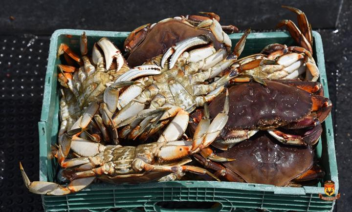 阿拉斯加白螃蟹 dungeness 螃蟹