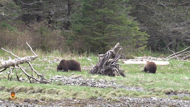 两只阿拉斯加棕熊