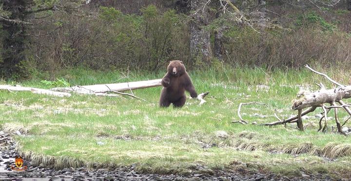 阿拉斯加棕熊狩猎
