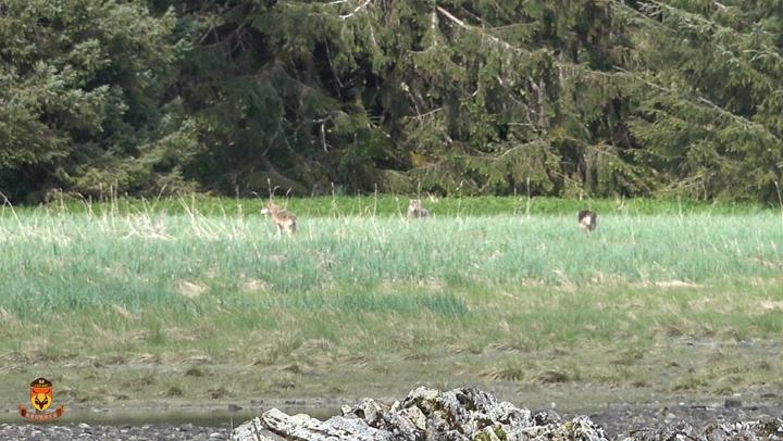 北美狼狩猎