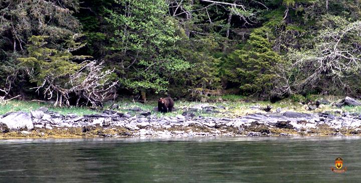 阿拉斯加海边棕熊狩猎