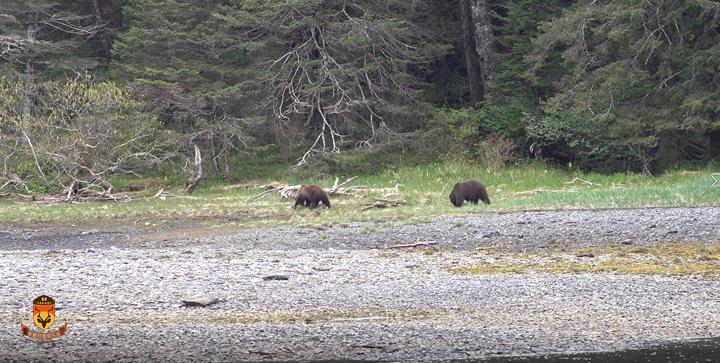 阿拉斯加棕熊在海边