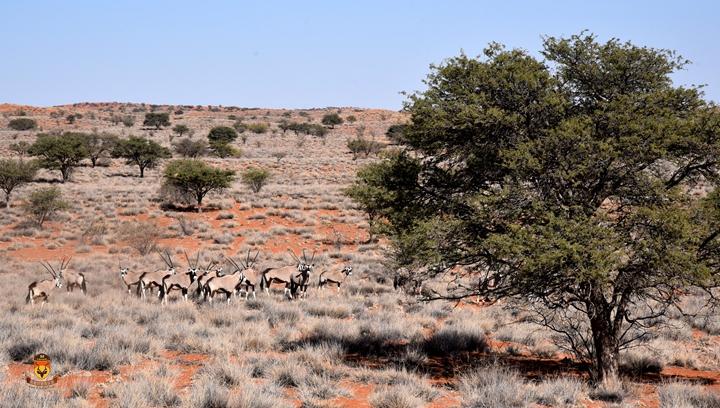 卡拉哈瑞沙漠狩猎