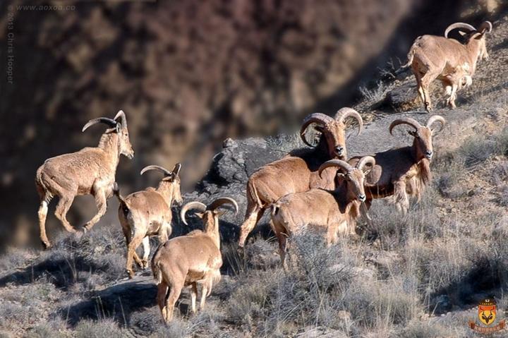 巴巴里蛮羊狩猎 美国狩猎 北美狩猎