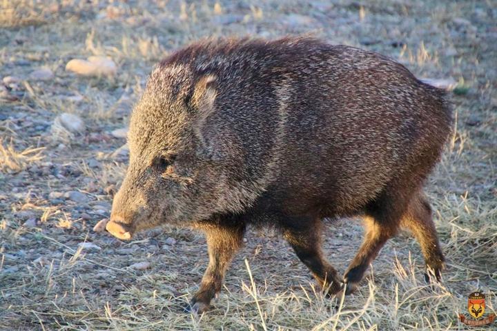 北美狩猎 美国狩猎 国外狩猎 沙漠野猪狩猎