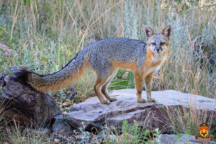 北美狩猎 美国狩猎 国外狩猎 灰狐狸