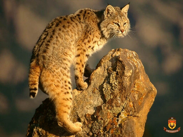 北美狩猎 美国狩猎 国外狩猎 山猫