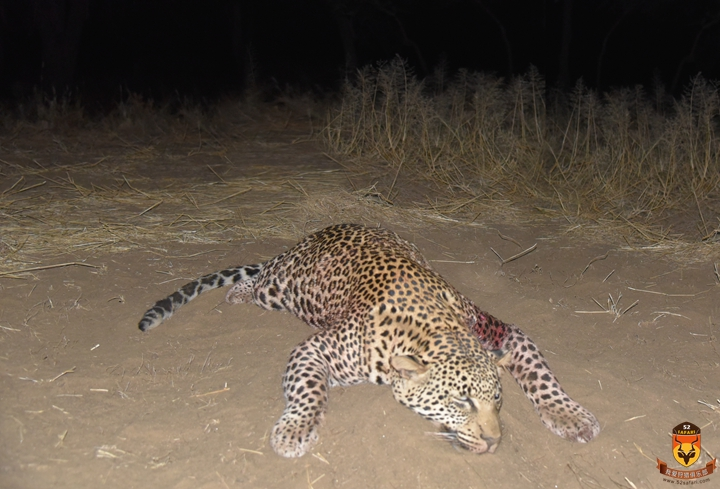 纳米比亚花豹