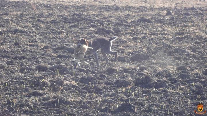 塞尔维亚狩猎 欧洲狩猎 兔子狩猎 猎犬