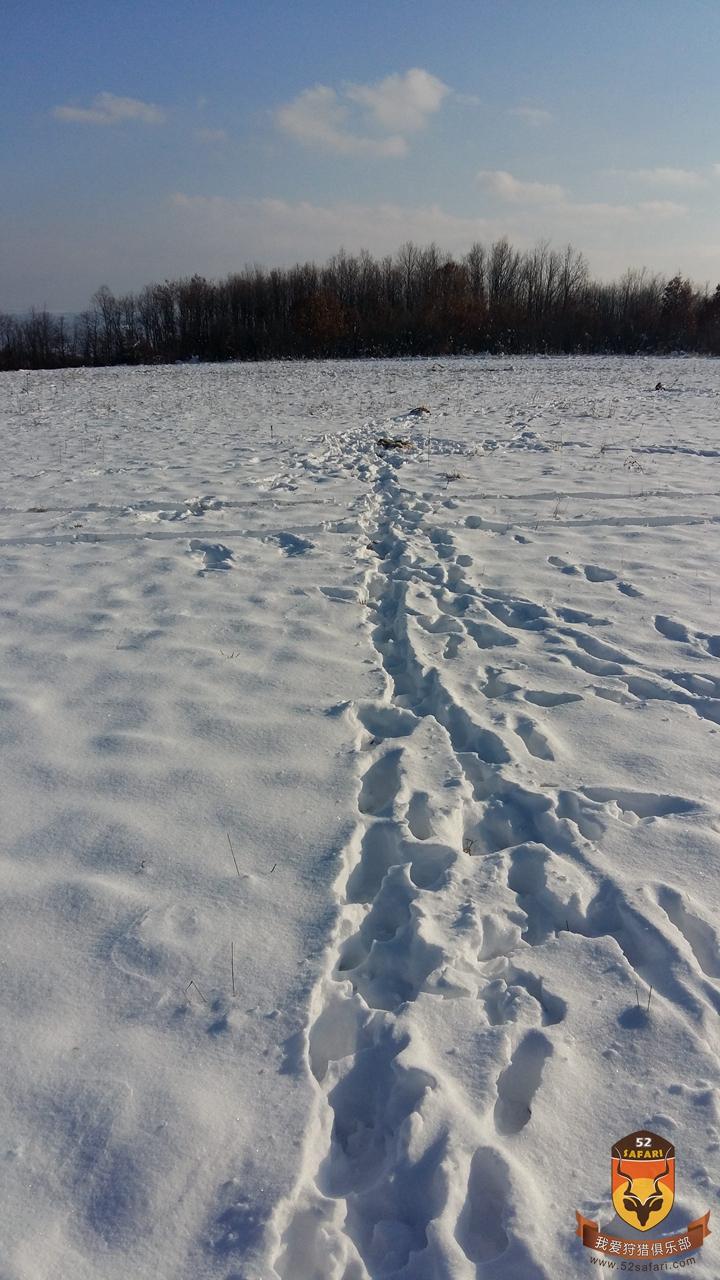 塞尔维亚狩猎 大灰狼脚印 欧洲狩猎 大灰狼狩猎