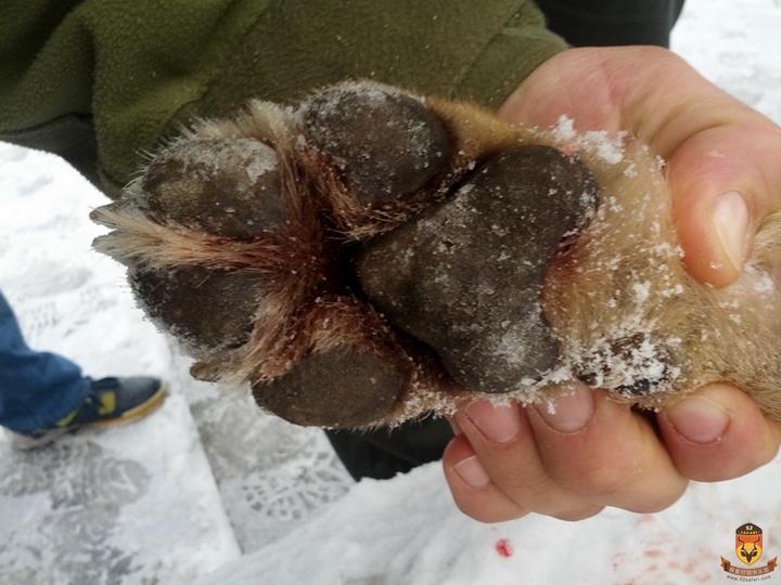 塞尔维亚狩猎 大灰狼脚 欧洲狩猎 大灰狼狩猎