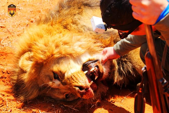 南非经济狮子狩猎