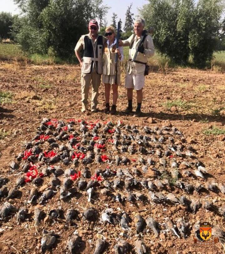 摩洛哥斑鸠狩猎