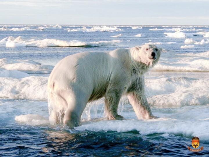 北极熊夏天狩猎团