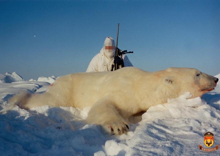 北极熊打猎