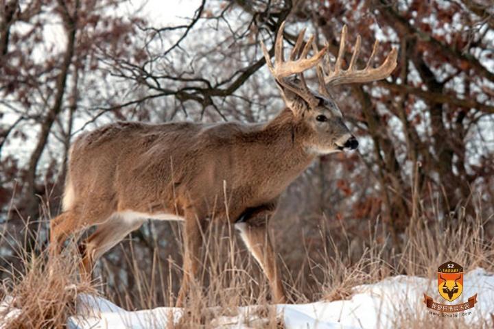 战利品白尾鹿狩猎