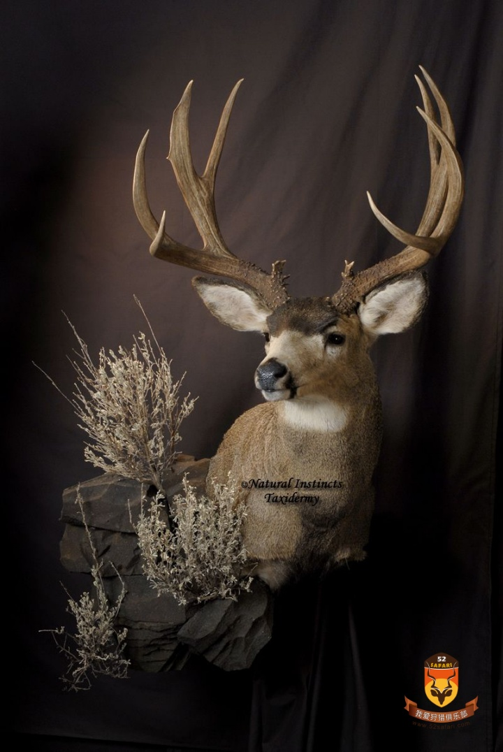 美国鹿标本