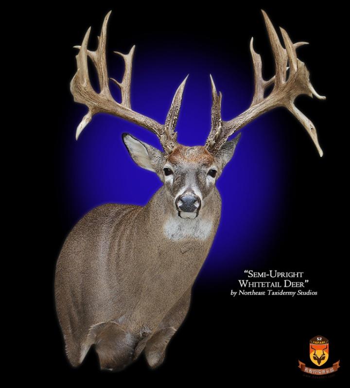 白尾鹿标本