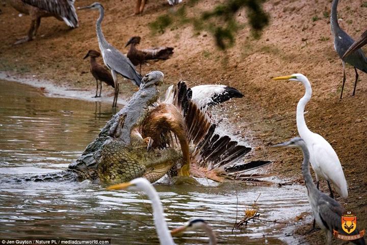 非洲尼罗鳄狩猎