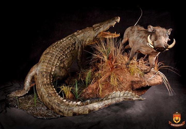 尼罗鳄标本