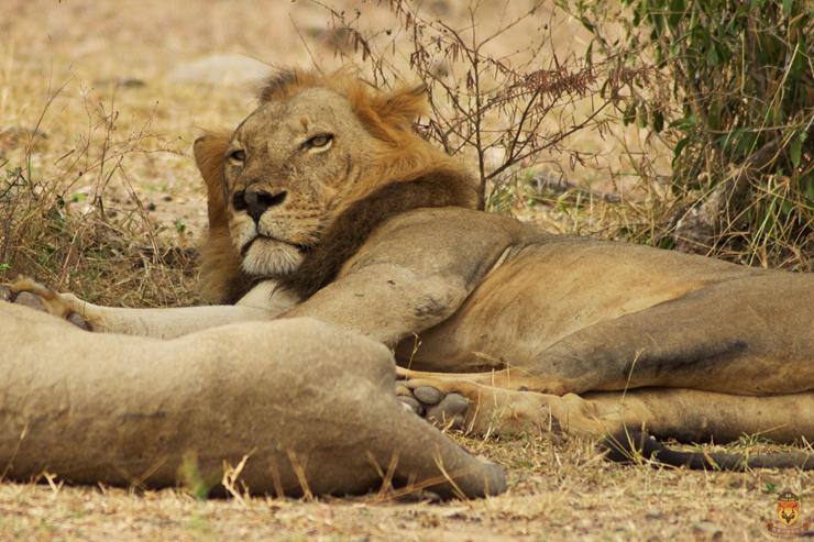 全野生狮子狩猎